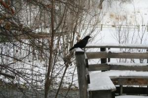 Our Visitor - Raven
